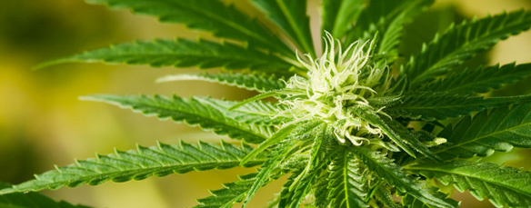 Philadelphia Marijuana Lawyer   Cannabis Defense Lawyer in